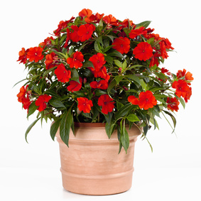 Liveparrot Rostkappenpapagei Papagei Zimmerpflanze Pflanze fleißiges Lieschen