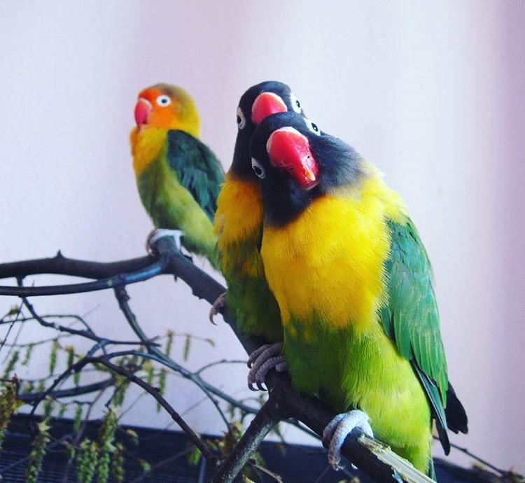 Agaporniden Papagei Unzertrennliche Liveparrot Lovebirds