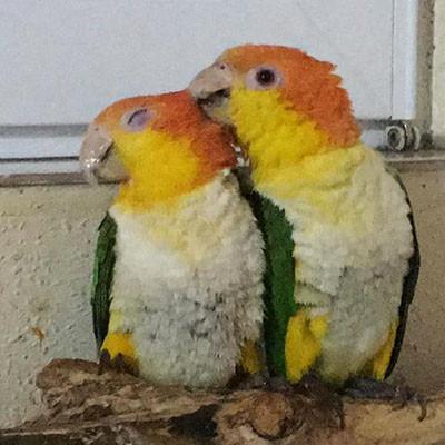 Liveparrot Rostkappenpapagei Papagei Sinnesorgan Haut Zunge Fühlen