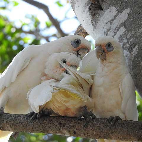 Kakadufamilie Eltern und Kinder Papagei Liveparrot