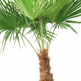 Ungiftige Zimmerpflanzen für deinen Papagei- Die Hanfpalme