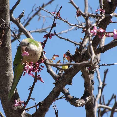 Möchsittich Futtersuche Papagei Liveparrot Parrot Blüten