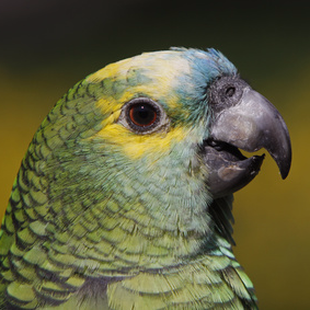 5 Papageienarten, die das sprechen leicht lernen- Teil 2