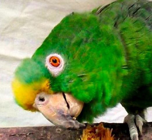 Gelscheitelamazone Dusty Papagei Liveparrot Blog