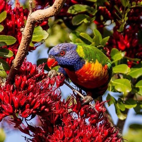 Lori in der Wildiss Liveparrot Papagei Parrot Tree Bird