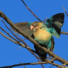 Lovebirds Rostkappenpapagei Papagei Liveparrot Unzertrennliche Agaporniden Geschlechtsreife