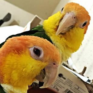 Woran erkennt man einen Papagei - Der Schnabel