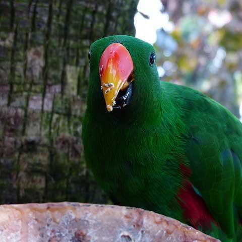 Edelpapagei Wildniss Futtersuche Papagei Liveparrot
