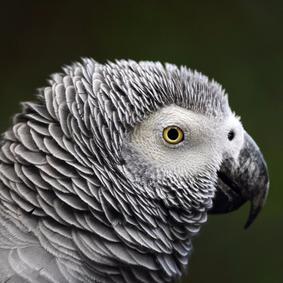 5 Papageienarten, die das Sprechen leicht lernen- Teil 1