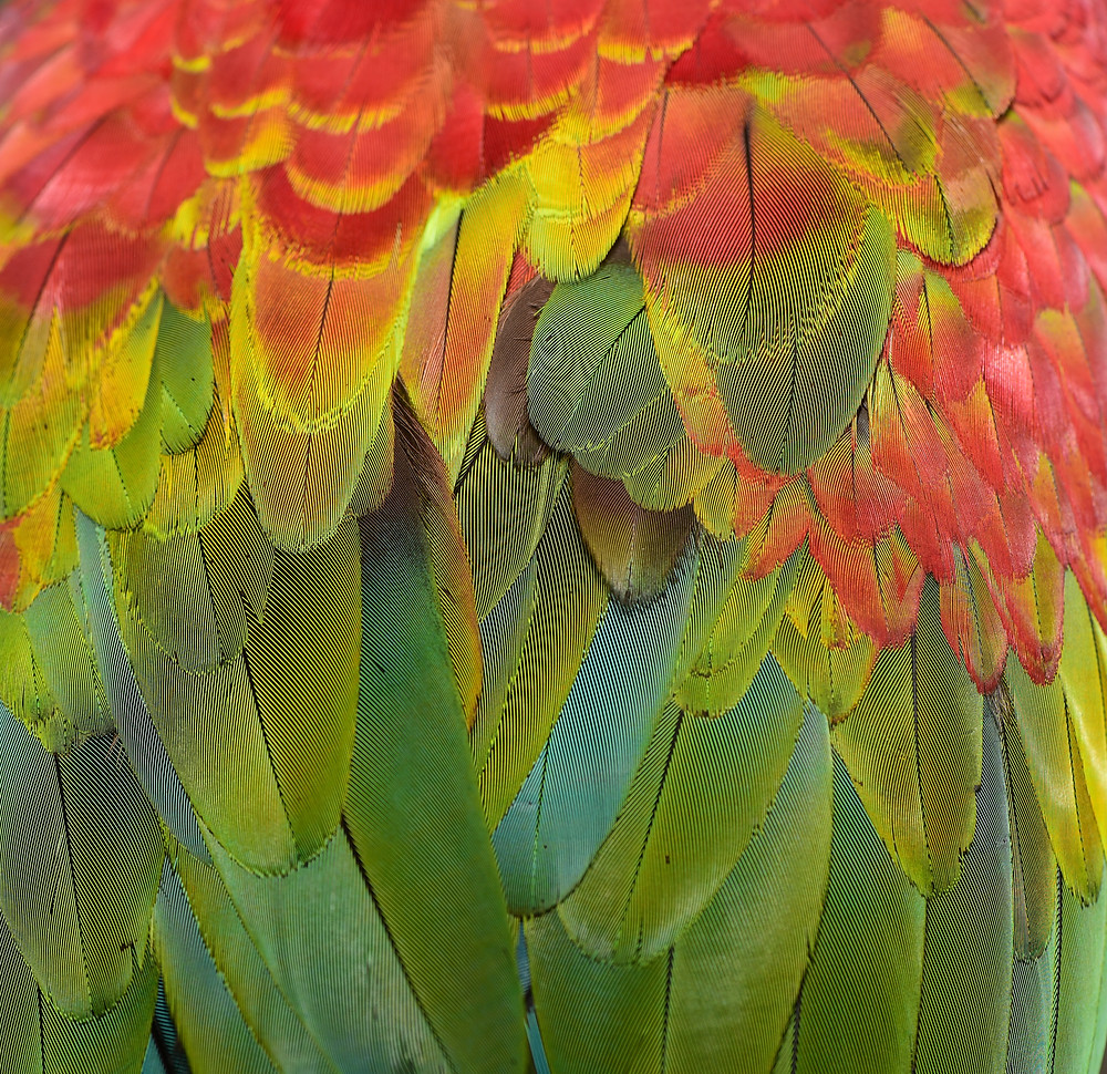 Papageienfedern Federn Feder bunt Papagei Rostkappenpapagei Liveparrot Blog