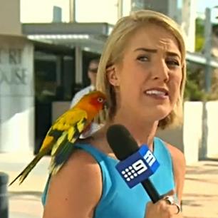 Sonnensittich in australischer Live-Übertragung!