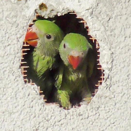 Halsbandsittich Nest Papagei Gelege Küken
