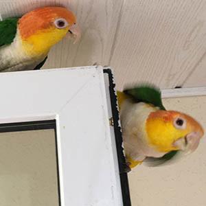 Gefahren im Alltag Gefahren im Haushalt Papagei Rostkappenpapagei Blog Liveparrot Fenster