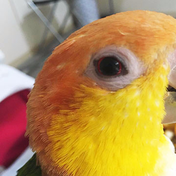 Liveparrot Rostkappenpapagei Papagei Sehen Sinnesorgan Auge Sehen