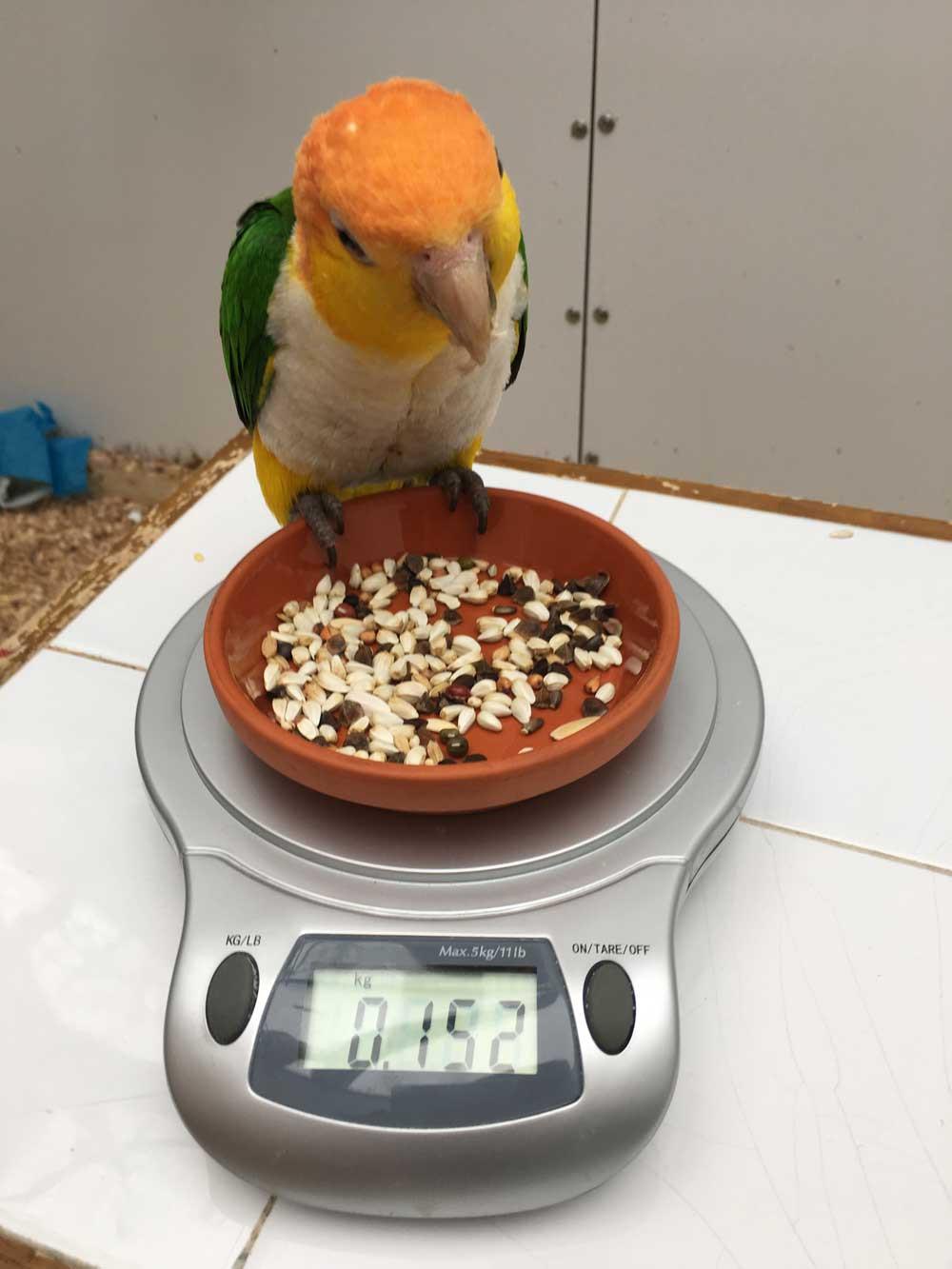 Leonie beim Wiegen Rostkappenpapagei Papagei Liveparrot Ernhärung Haltung