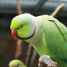 5 Papageienarten, die das Sprechen leicht lernen- Teil 4