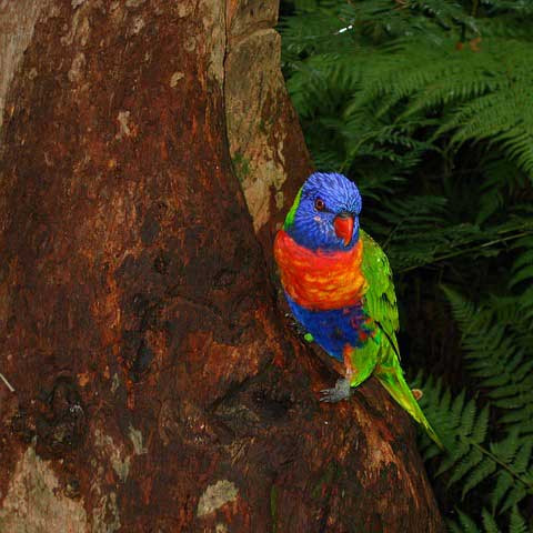 Lori Bau Nisthöhle Baumstamm Wildniss Papagei Parrot liveparrot
