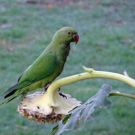 Papagei Futtersuche Wildniss Sonnenblume Sonnenblumenkerne Liveparrot