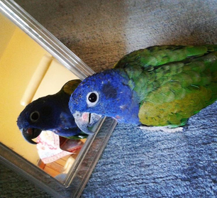 Unbekanntere Papageien: Der Schwarzohrpapagei