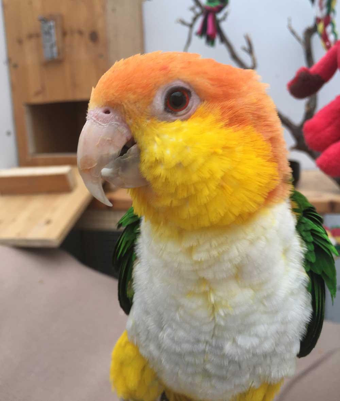 Leonie Rostkappenpapagei Liveparrot Papagei Ernährung Haltung
