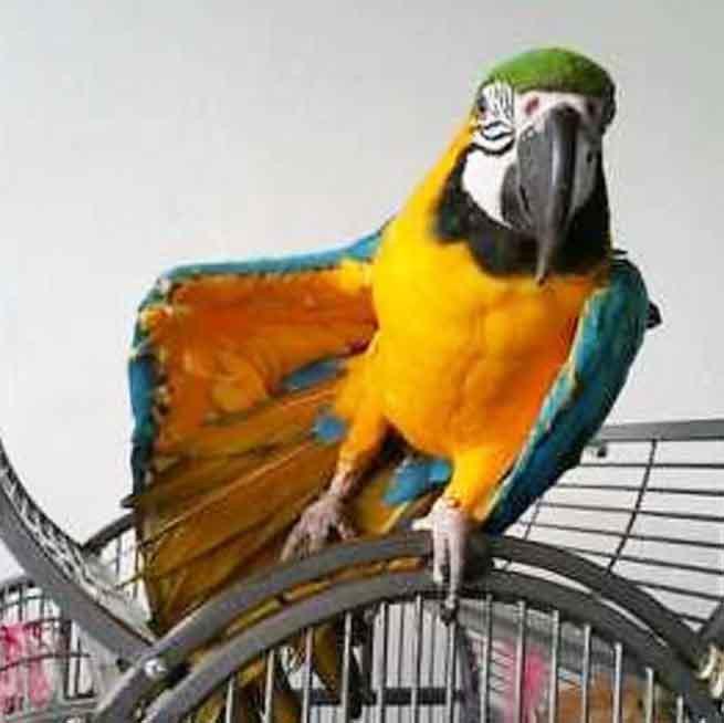 Ruby ist wieder Zuhause Papagei Liveparrot Blog News Gelbbrustara Ara
