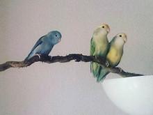 Ein perfekter Wohnungspapagei - Der Sperlingspapagei