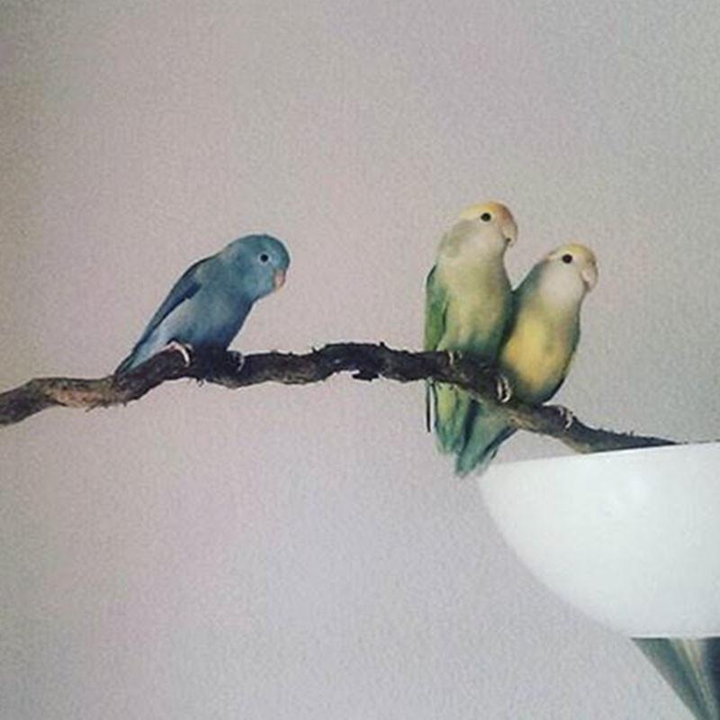 Sperlingspapagei Papageienarten Liveparrot Vogel Wohnungsvogel
