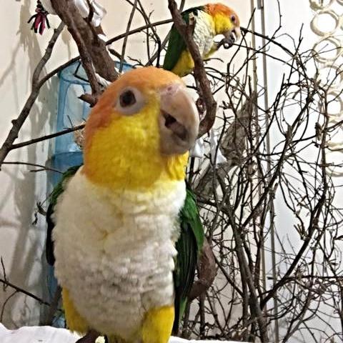 sprechender Papagei Rostkappenpapagei Liveparrot Blog Warum können Papageien sprechen?