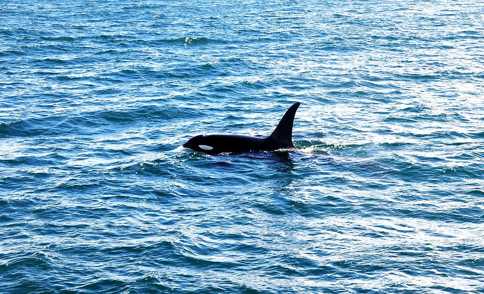 Wild Male Orca, Húsavík