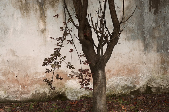 Tree - Tunxi, Anhui