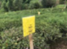 Tea mission4.png