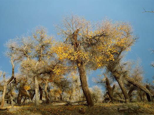 Tree formation, Ejina Qi