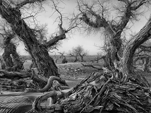 Unyielding Poplars