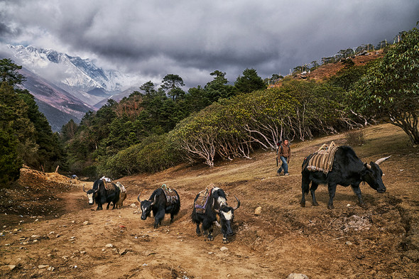 Yaks and the porter, Tengboche, Nepal