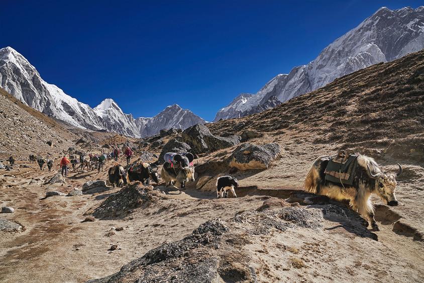 Yaks and trekkers, Lobuche, Nepal