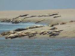 Phoques baie de somme observation veaux marins observer phoques crotoy saint valery maye phoques gris guide baie de somme