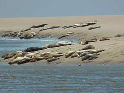 Phoques baie de somme observation veaux marins observer phoques crotoy saint valery maye phoques gris