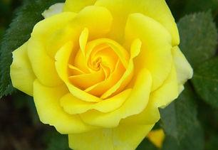 yellow rose profile.jpg