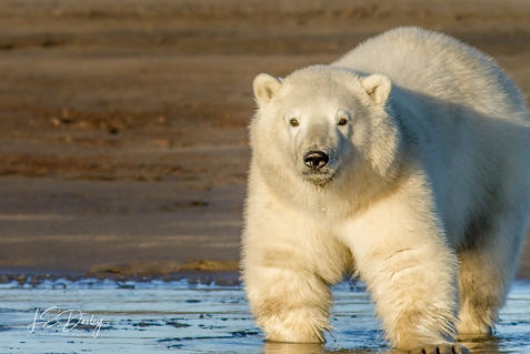 Image of Polar Bear, Fine Art Photography from Lupine Light Images