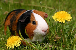 Picture of a guinea pig