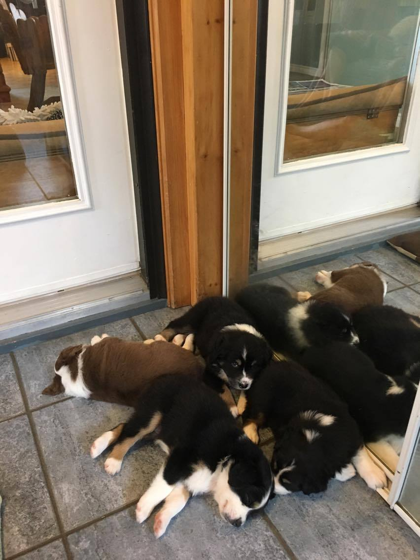 Puppy Pile at 5 weeks