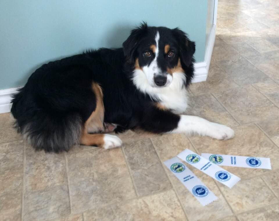 Onyx Novice-Int-Adv Trick Dog Titles