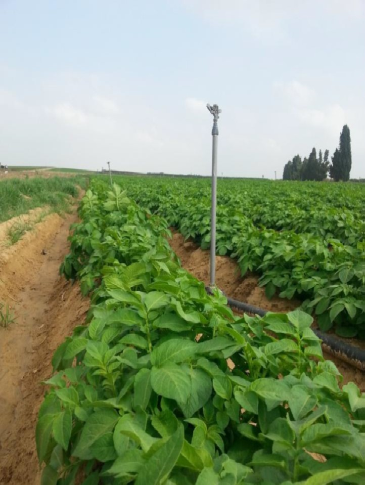 Field crop