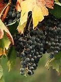 Klynge af druer