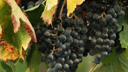 Grape extracts may protect against colon cancer