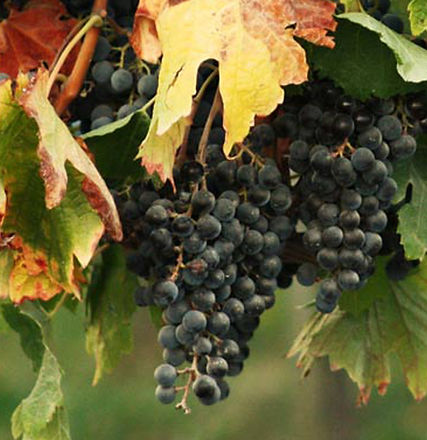 Cluster of Grapes