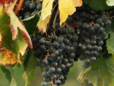 Target Sugar and Acid Levels for Popular Wine Grape Varieties
