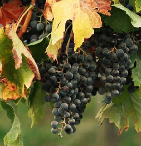 Cluster van druiven