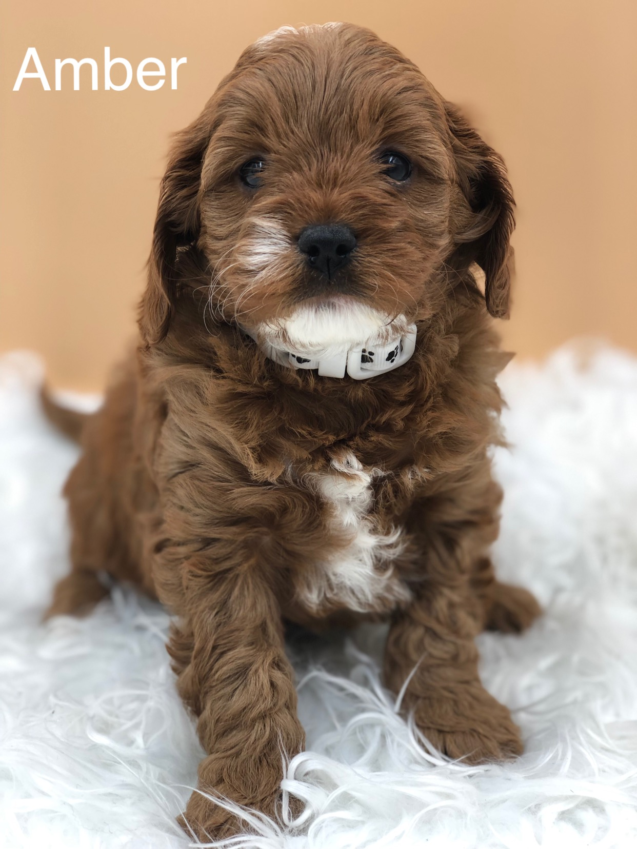 Previous Puppies, Cavoodles for sale NSW, Cavoodle Breeder
