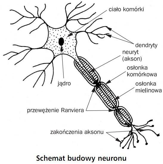 Schemat budowy neuronu